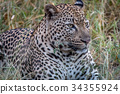 Close up of a male Leopard in the grass. 34355924