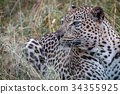 Close up of a male Leopard in the grass. 34355925