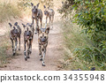 A pack of African wild dogs running. 34355948
