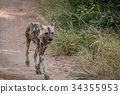An African wild dog running on the road. 34355953