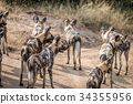 A pack of African wild dogs looking around. 34355956