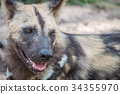 Close up of an African wild dog. 34355970