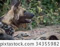 dog, wildlife, animal 34355982
