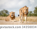 Two male Lions staring at the camera. 34356034