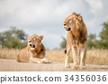 Two male Lions resting on the road. 34356036