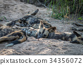 A pack of African wild dogs resting. 34356072