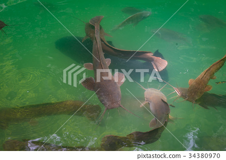 Wild catfish in the natural pool 34380970