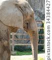 african, elephant, loxodonta 34384427