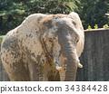 african, elephant, loxodonta 34384428