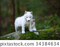 White husky puppies 34384634