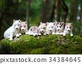 Troop of husky puppies 34384645