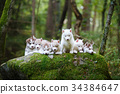 Troop of husky puppies 34384647