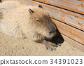 capybara, animal, animals 34391023