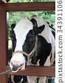 วัว,สวนสัตว์,สัตว์ 34391106