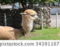 สัตว์,ภาพวาดมือ สัตว์,อัลพาก้า 34391107