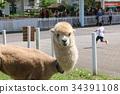 สัตว์,ภาพวาดมือ สัตว์,อัลพาก้า 34391108