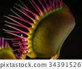 A Venus Fly Trap Side 34391526