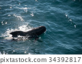 Long-finned Pilot Whales 34392817