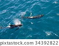 Long-finned Pilot Whales 34392822