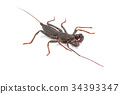 whip scorpion on white background 34393347