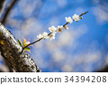梅花 花朵 花卉 34394208