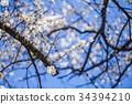 梅花 花朵 花卉 34394210