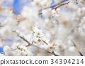 梅花 花朵 花卉 34394214