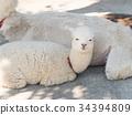 羊駝 駱駝科 哺乳動物 34394809