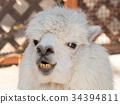 羊駝 駱駝科 哺乳動物 34394811