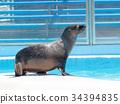 fur seal sea 34394835