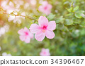 hibiscus pink flower with blurry background 34396467