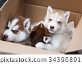 Puppies in a box 34396891