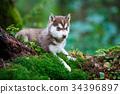 Husky puppy in a wild forest 34396897
