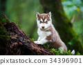 Husky puppy in a wild forest 34396901