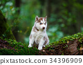 Husky puppy in a wild forest 34396909