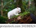 Husky puppy in a wild forest 34396924