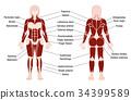 Muscles Chart Description Muscular Body Woman 34399589