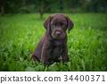 brown labrador puppy 34400371
