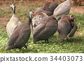adult, bird, fowl 34403073