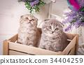 cat, pet, animal 34404259