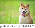 柴犬 叢林犬 毛孩 34404475