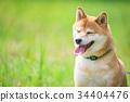柴犬 叢林犬 毛孩 34404476