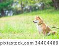 หมาชิบะ,สุนัข,สุนัช 34404489
