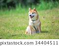 หมาชิบะ,สุนัข,สุนัช 34404511