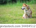 หมาชิบะ,สุนัข,สุนัช 34404512