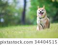 หมาชิบะ,สุนัข,สุนัช 34404515