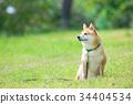 หมาชิบะ,สุนัข,สุนัช 34404534