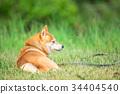 หมาชิบะ,สุนัข,สุนัช 34404540