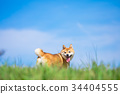 시바, 시바견, 동물 34404555