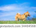 หมาชิบะ,สุนัข,สุนัช 34404568